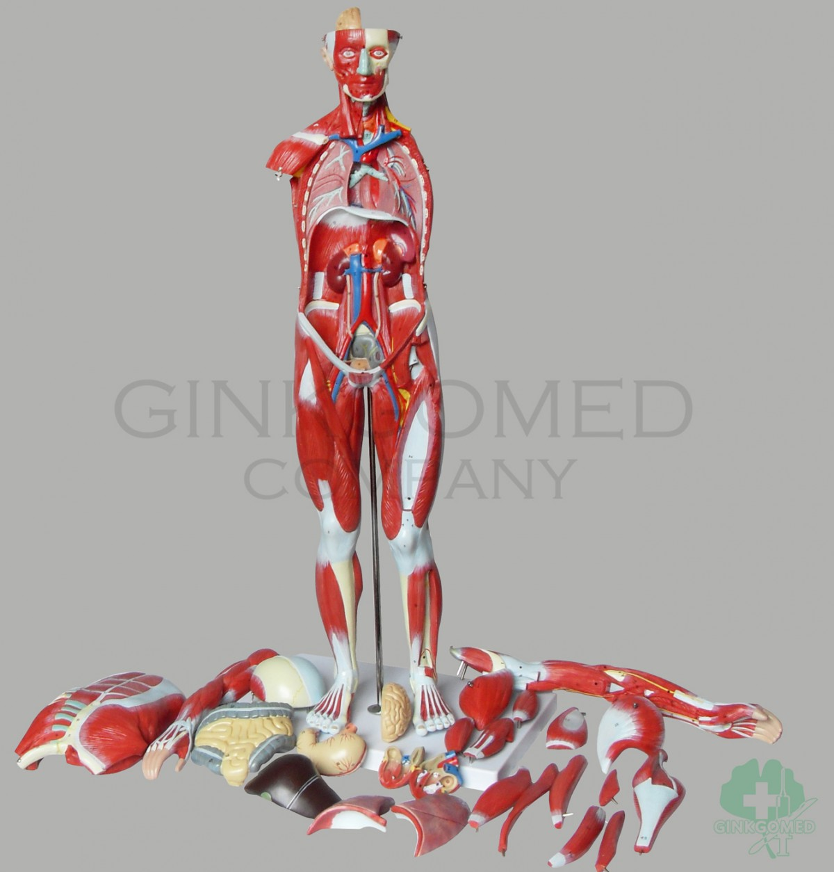 Gm 020001 Muscles Of Full Body Muscular System Teaching Models