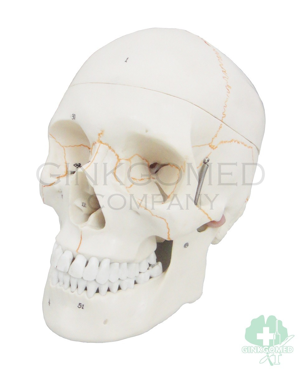 Gm 010008 Numerical Labeled Human Skull