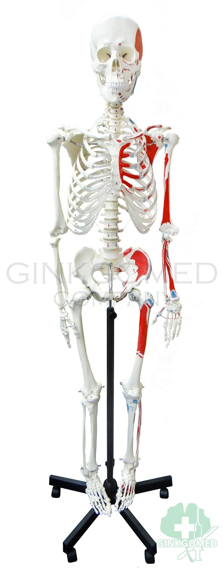 Gm 010030 Articulated Human Skeleton With Muscular Labeling