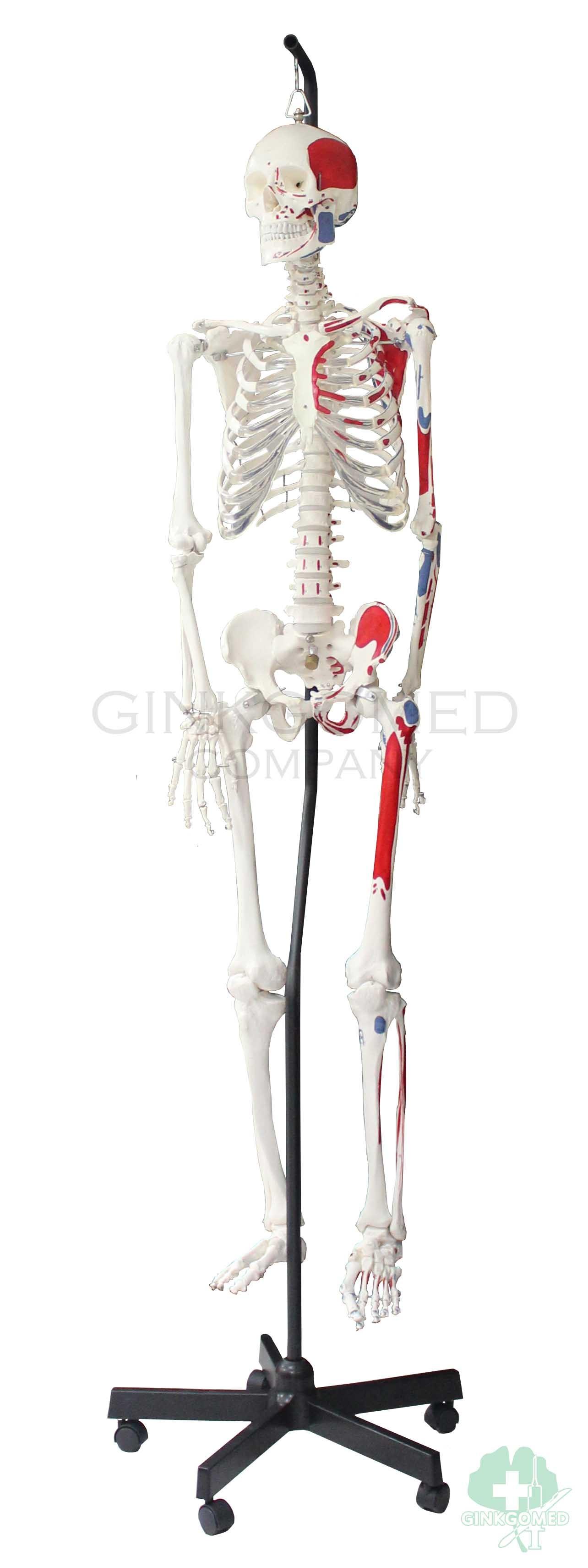 Gm 010057 Hangable Human Skeleton With Muscular Labeling