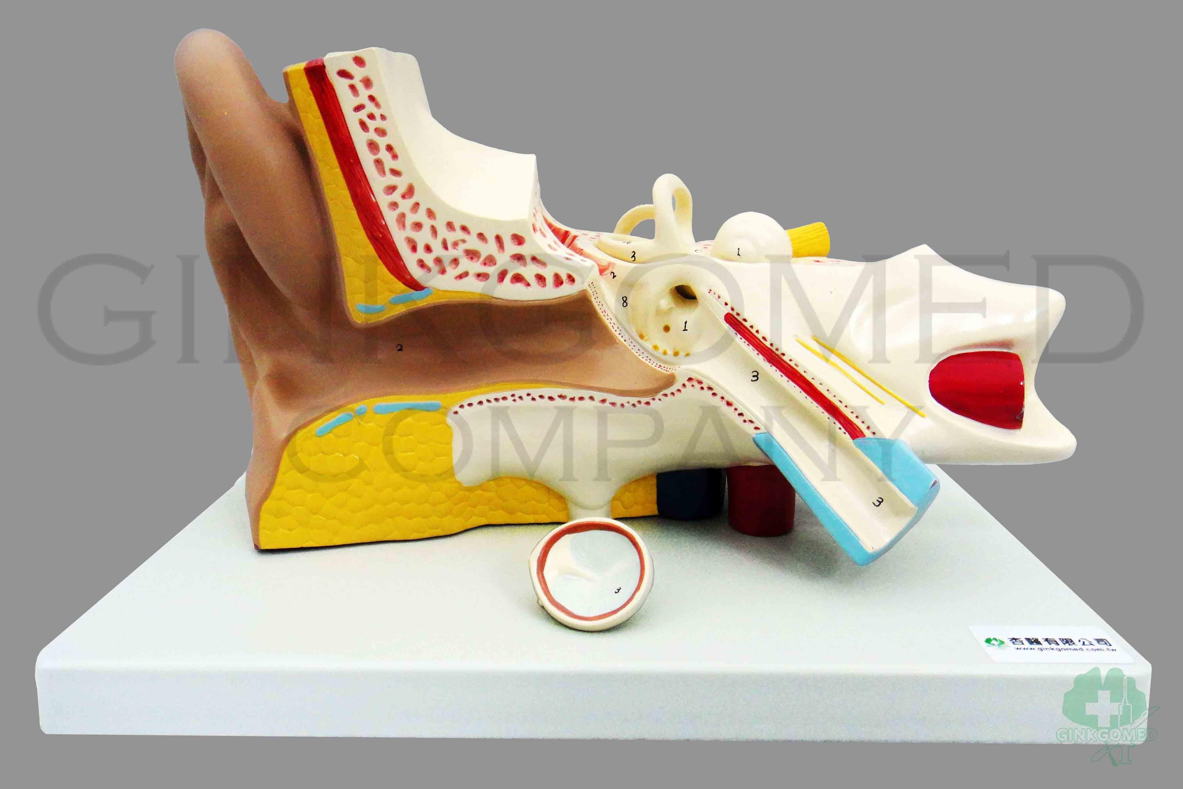 GM-080007 Ear Anatomy - Head, Neck, Nervous System and Sense Organs ...