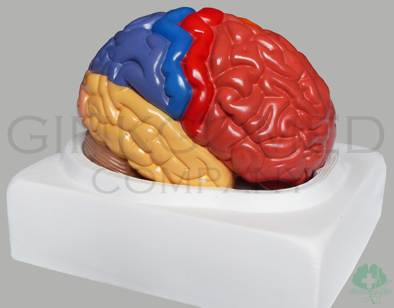 GM-080011 Functional Areas of Brain - Head, Neck, Nervous System and ...